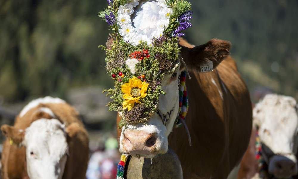 Almabtrieb und Dankesfest: Tradition hautnah erleben