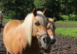 PferdZungezeigen